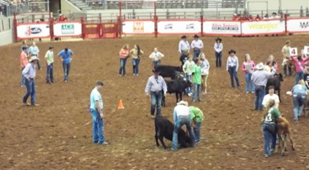 Calf Scramble 2